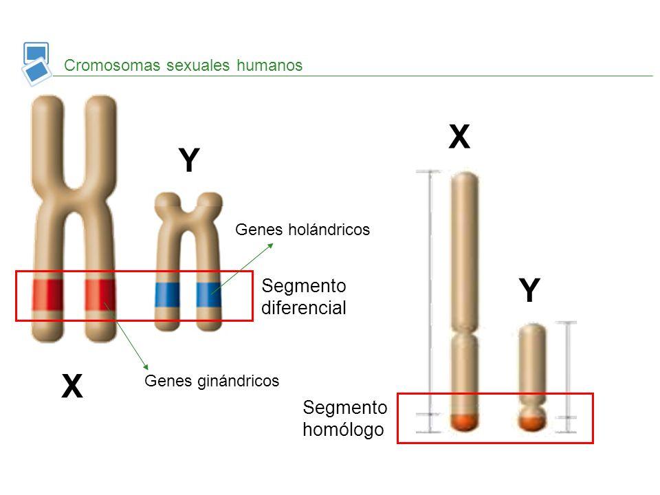 X Y Y X Segmento diferencial Segmento homólogo