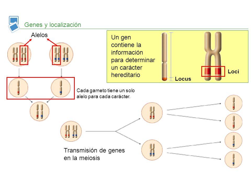 Un gen contiene la información para determinar un carácter hereditario
