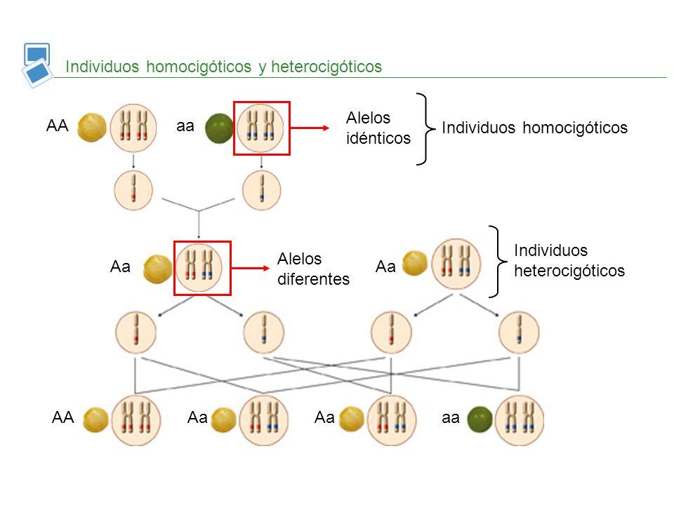 Individuos homocigóticos y heterocigóticos