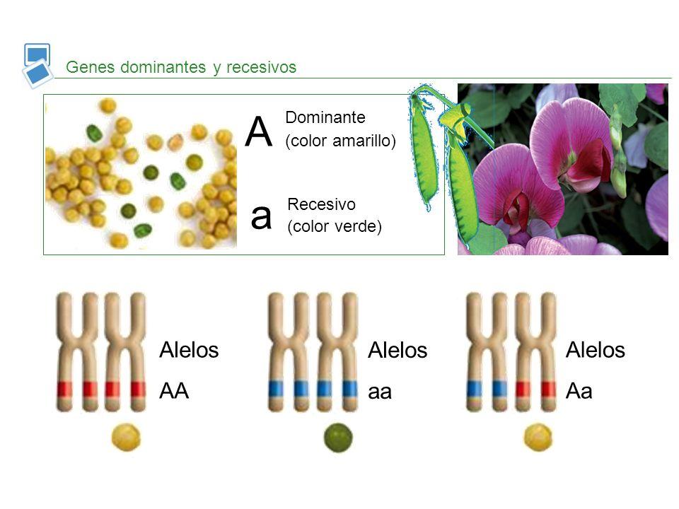 A a Alelos AA Alelos aa Alelos Aa Genes dominantes y recesivos
