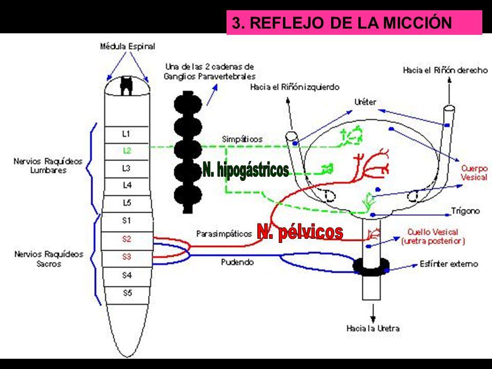 3. Reflejo de la micción N. hipogástricos N. pélvicos
