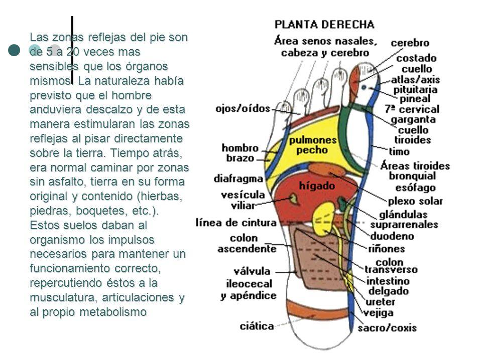 Las zonas reflejas del pie son de 5 a 20 veces mas sensibles que los órganos mismos.