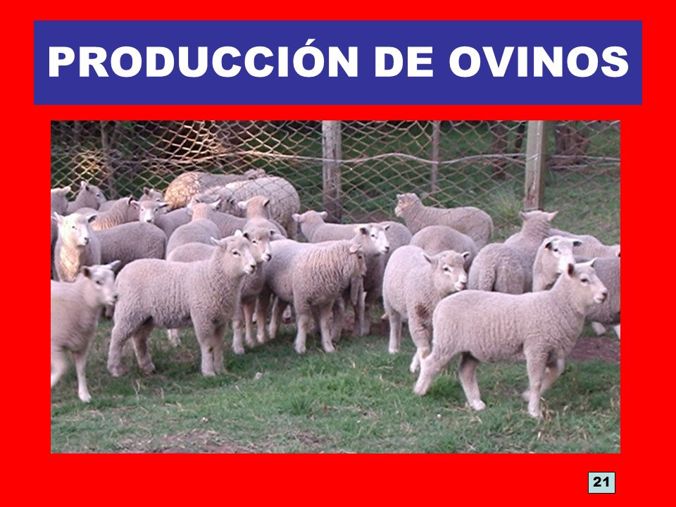 PRODUCCIÓN DE OVINOS 21