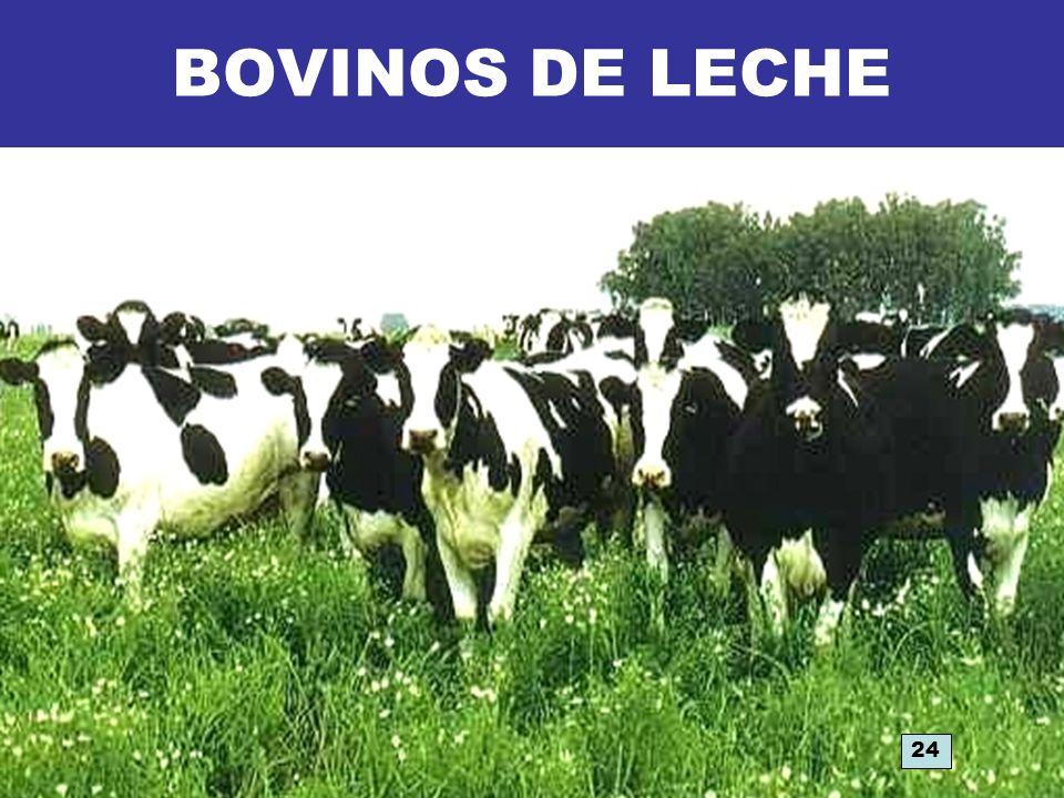 BOVINOS DE LECHE 24