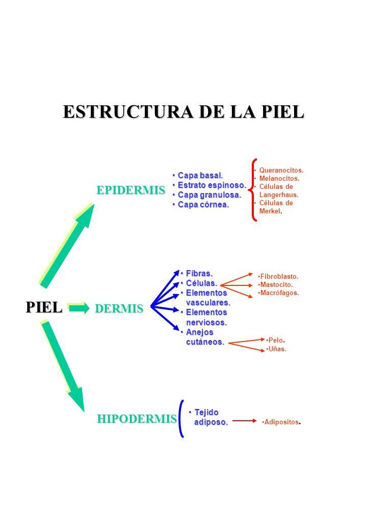 ESTRUCTURA DE LA PIEL PIEL EPIDERMIS DERMIS HIPODERMIS Capa basal.