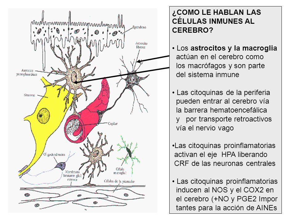 ¿COMO LE HABLAN LAS CÉLULAS INMUNES AL. CEREBRO Los astrocitos y la macroglia. actúan en el cerebro como.