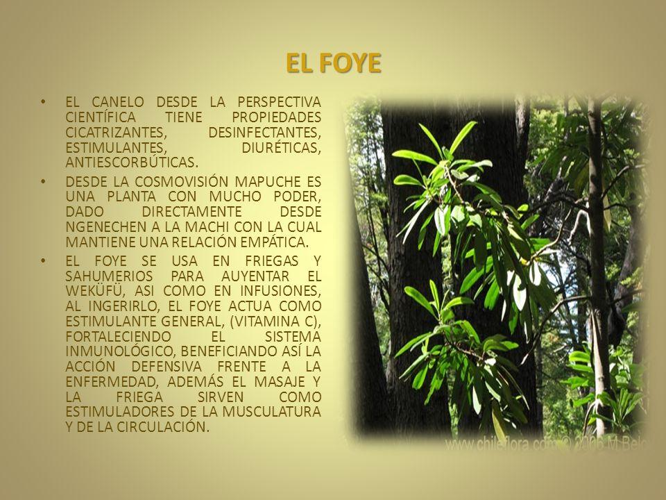 EL FOYE EL CANELO DESDE LA PERSPECTIVA CIENTÍFICA TIENE PROPIEDADES CICATRIZANTES, DESINFECTANTES, ESTIMULANTES, DIURÉTICAS, ANTIESCORBÚTICAS.