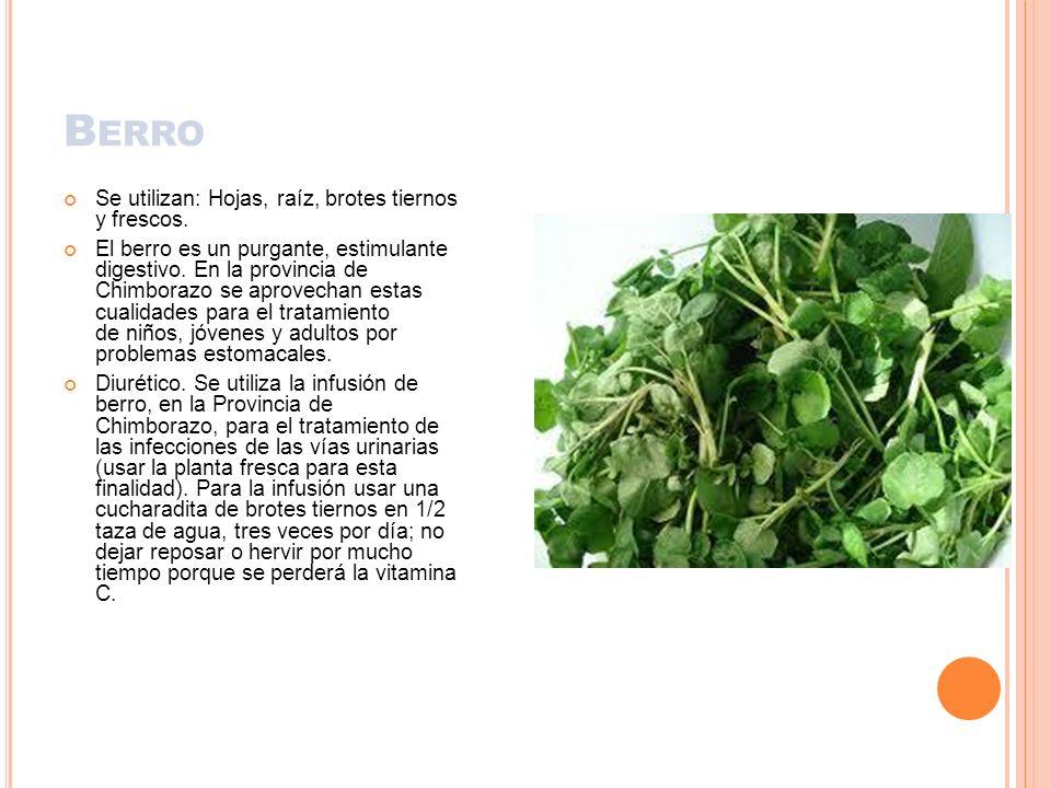 Berro Se utilizan: Hojas, raíz, brotes tiernos y frescos.
