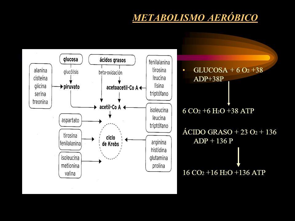 METABOLISMO AERÓBICO GLUCOSA + 6 O2 +38 ADP+38P 6 CO2 +6 H2O +38 ATP