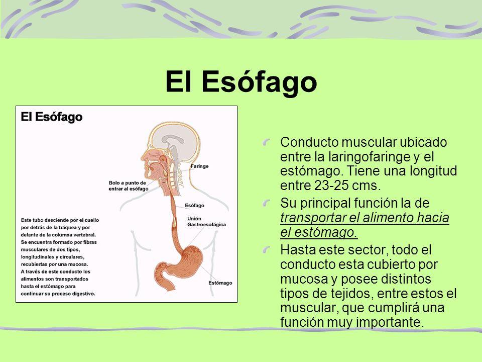 El Esófago Conducto muscular ubicado entre la laringofaringe y el estómago. Tiene una longitud entre 23-25 cms.