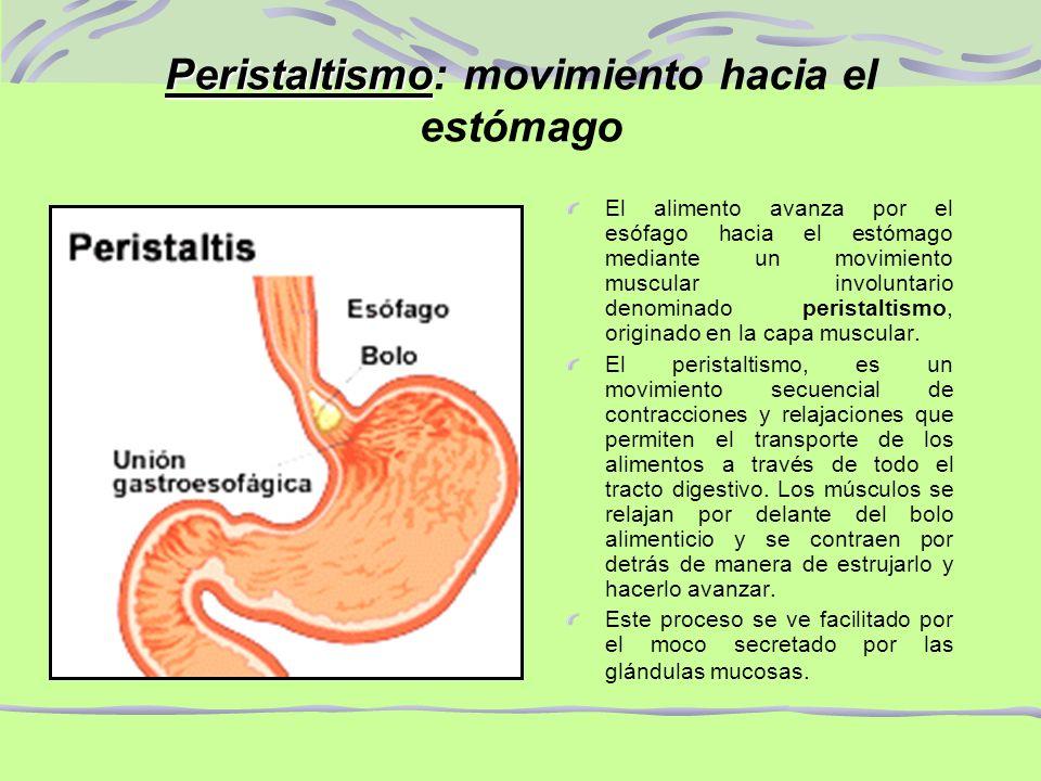 Peristaltismo: movimiento hacia el estómago