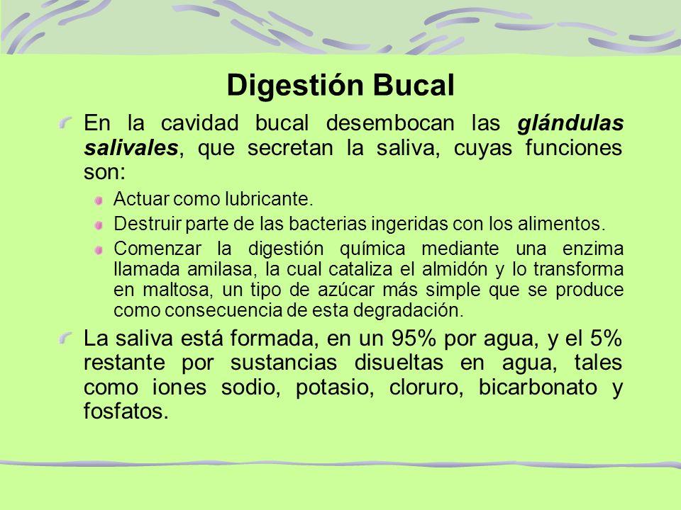 Digestión Bucal En la cavidad bucal desembocan las glándulas salivales, que secretan la saliva, cuyas funciones son: