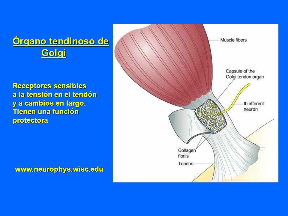 Órgano tendinoso de Golgi Receptores sensibles