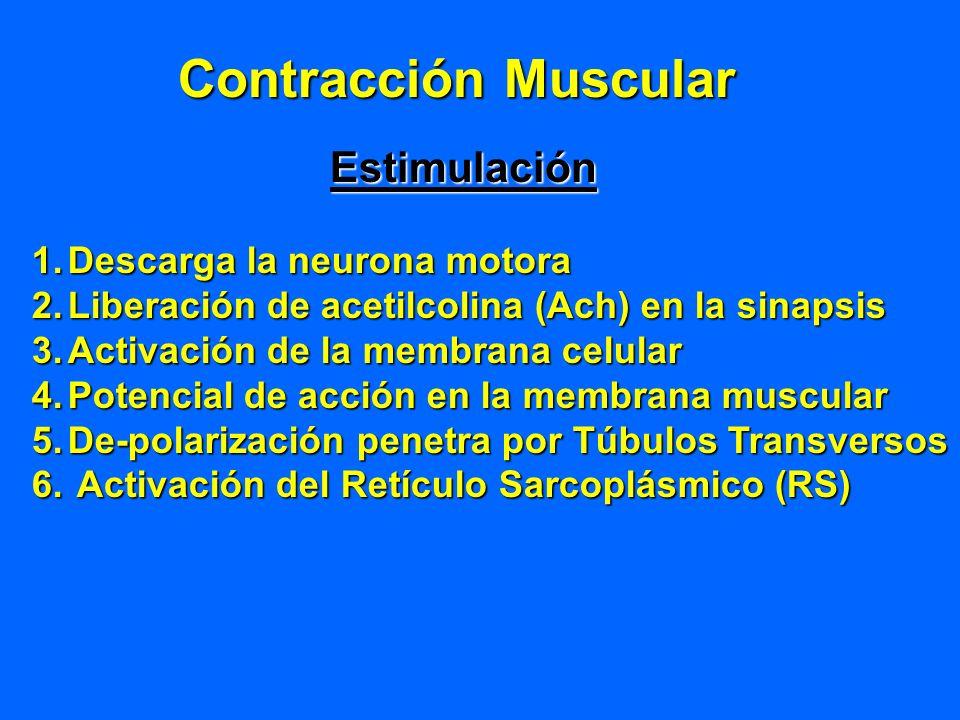 Contracción Muscular Estimulación Descarga la neurona motora