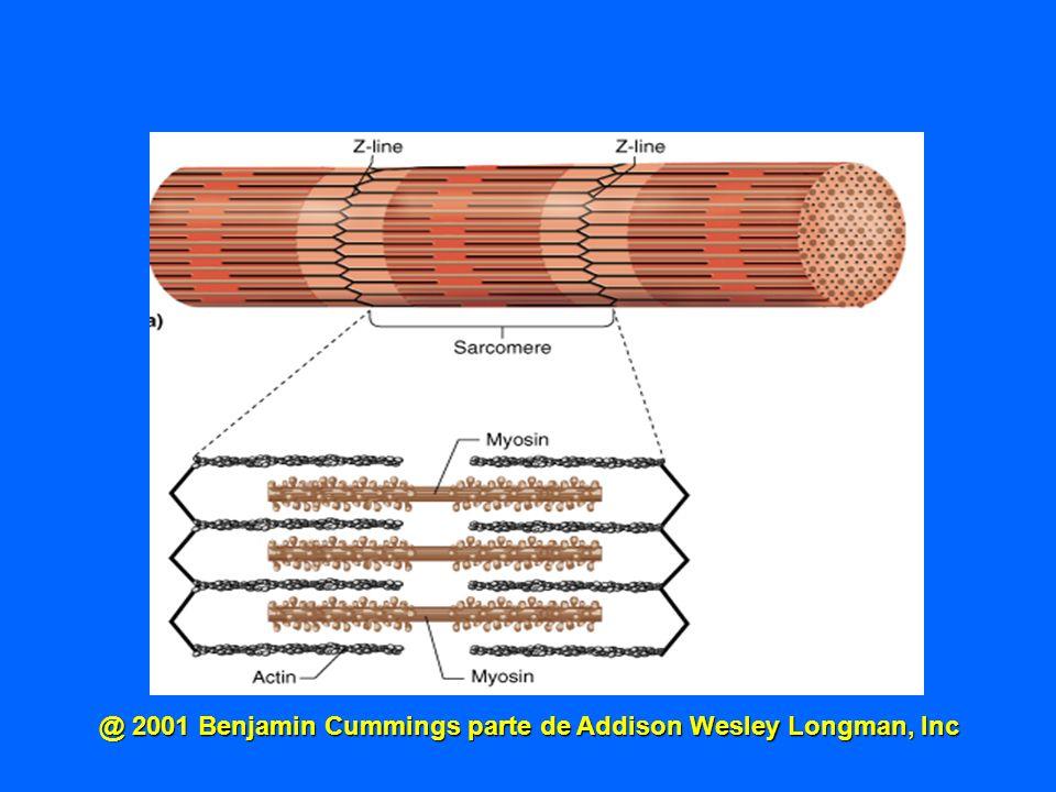 @ 2001 Benjamin Cummings parte de Addison Wesley Longman, Inc