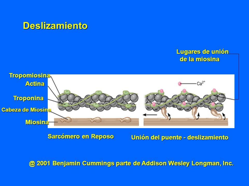 Deslizamiento Lugares de unión de la miosina Tropomiosina Actina