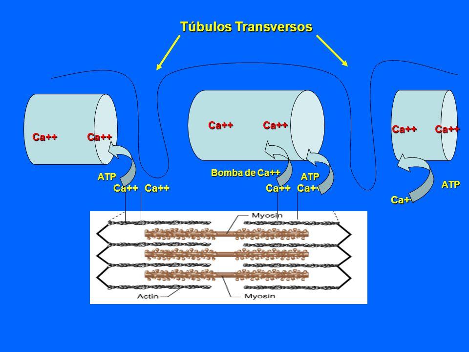 Túbulos Transversos Ca++ Ca++ Ca++ Ca++ Ca++ Ca++ Ca++ Ca++ Ca++ Ca++
