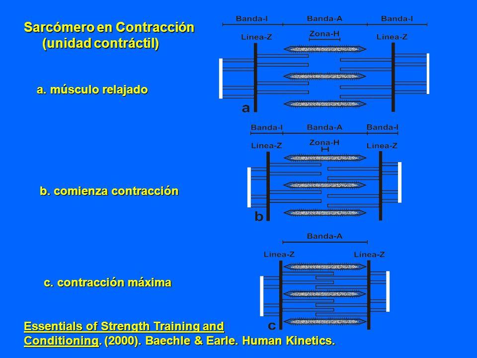 Sarcómero en Contracción (unidad contráctil)