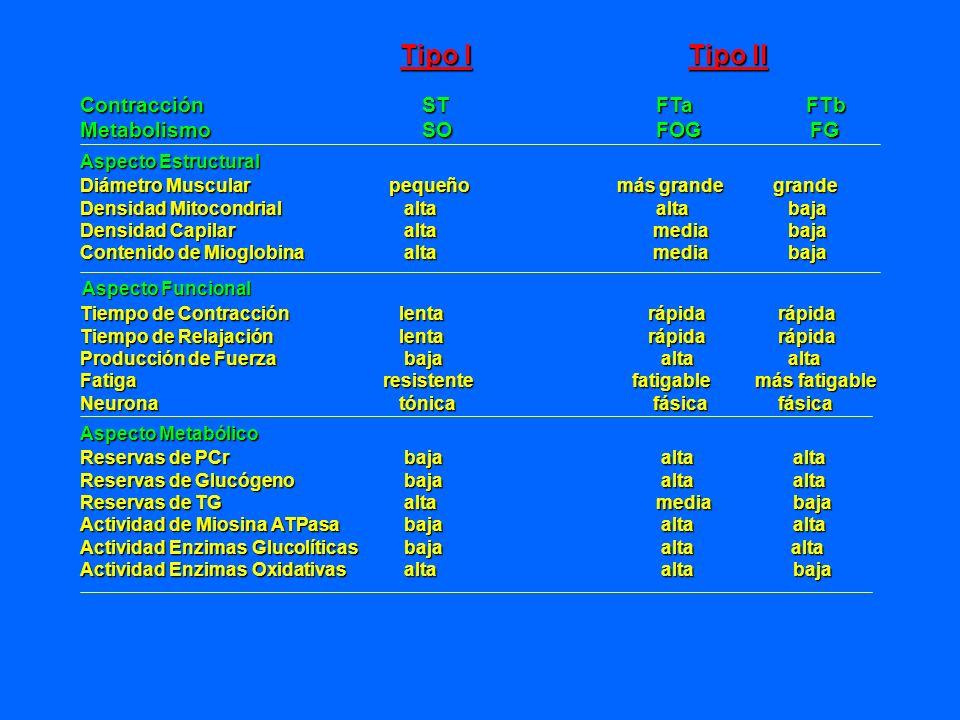 Tipo I Tipo II Contracción ST FTa FTb Metabolismo SO FOG FG