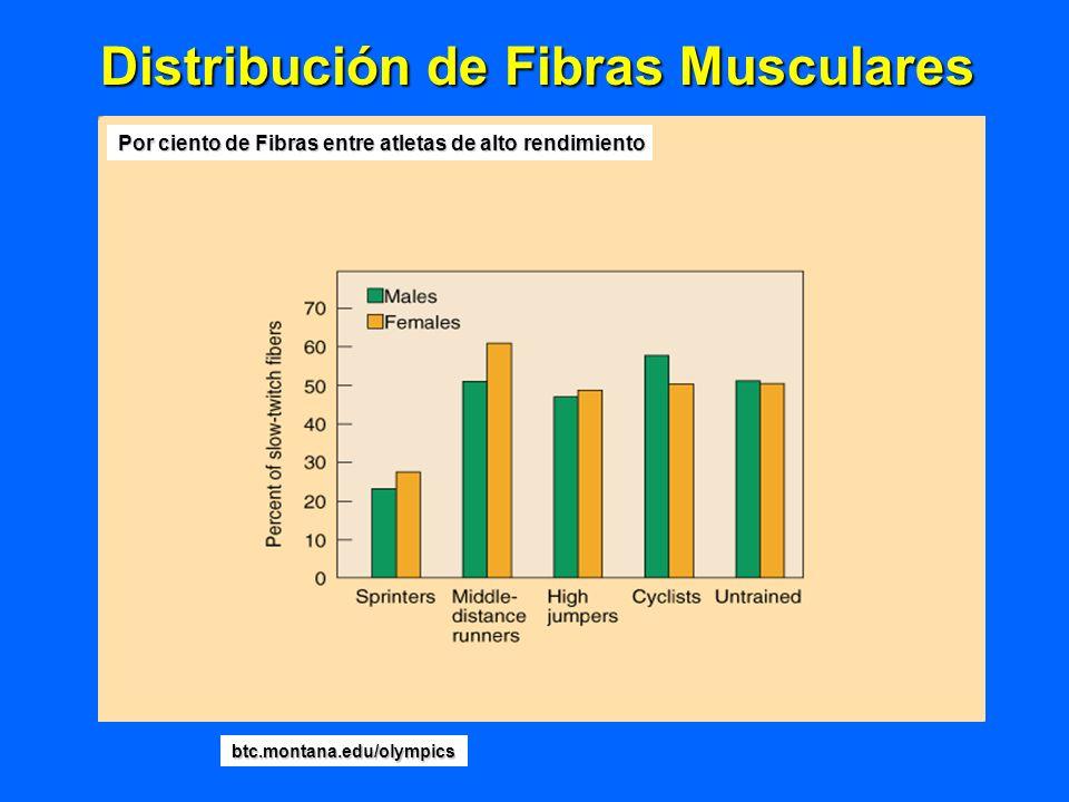 Distribución de Fibras Musculares