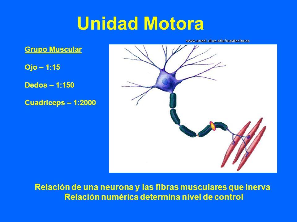 Unidad Motora www.ansci.uiuc.edu/meatscience. Grupo Muscular. Ojo – 1:15. Dedos – 1:150. Cuadriceps – 1:2000.