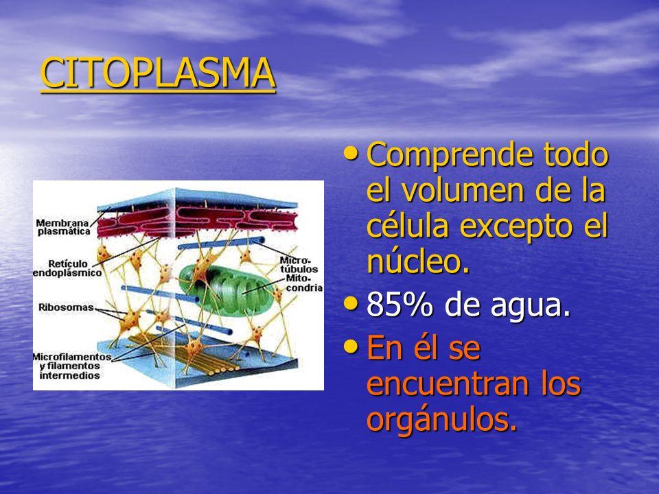 CITOPLASMA Comprende todo el volumen de la célula excepto el núcleo.
