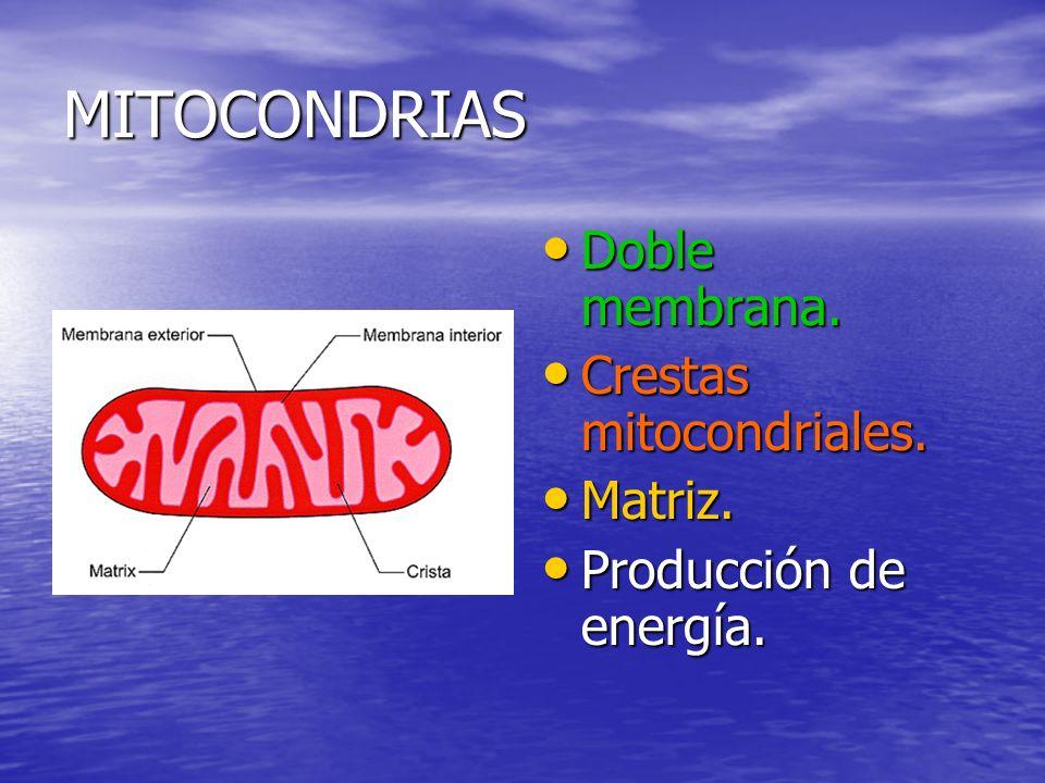 MITOCONDRIAS Doble membrana. Crestas mitocondriales. Matriz.