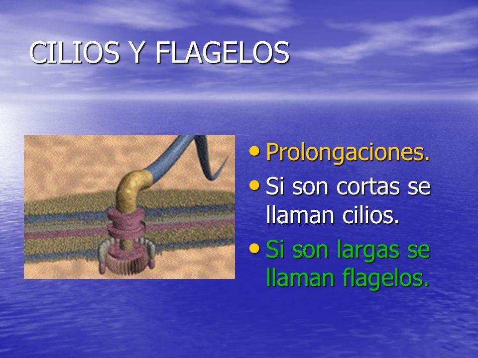 CILIOS Y FLAGELOS Prolongaciones. Si son cortas se llaman cilios.