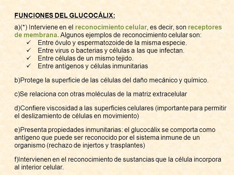 FUNCIONES DEL GLUCOCÁLIX: