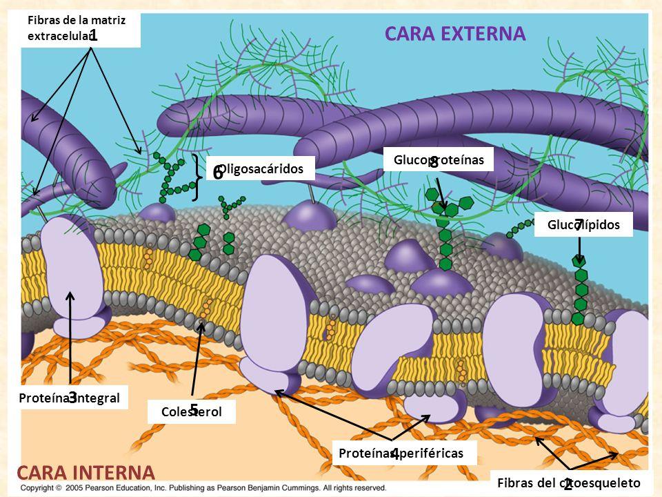 CARA EXTERNA 6 CARA INTERNA 1 8 7 3 5 4 2 Glucoproteínas