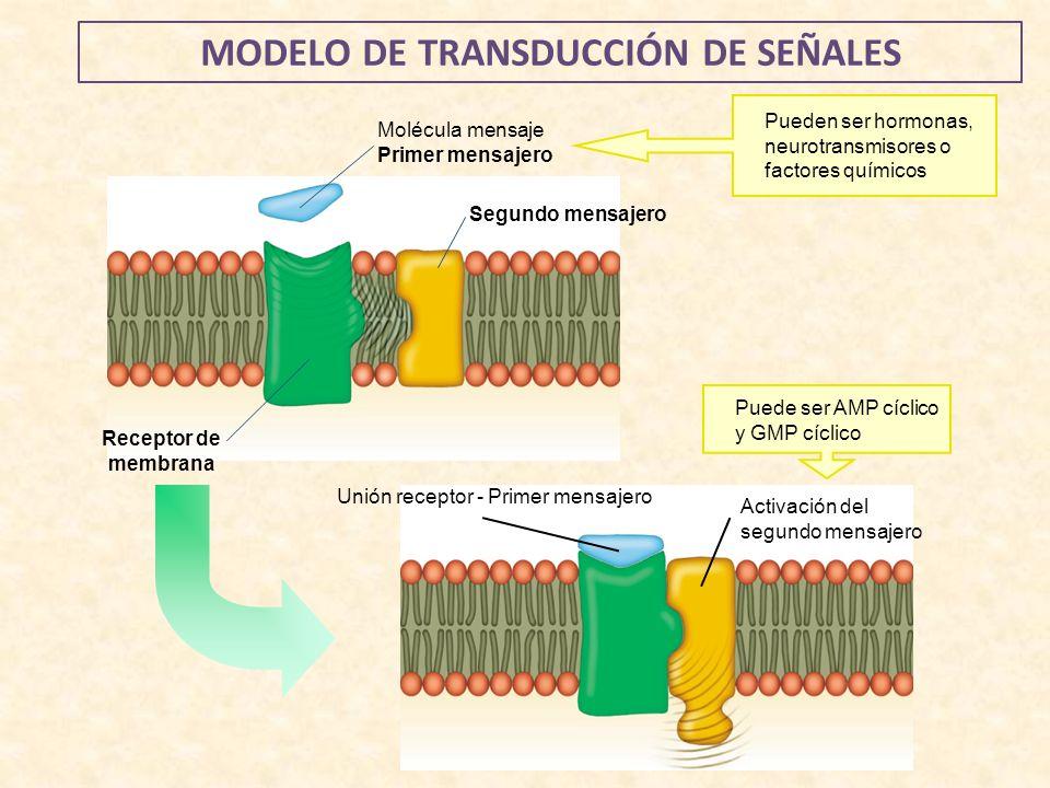 MODELO DE TRANSDUCCIÓN DE SEÑALES