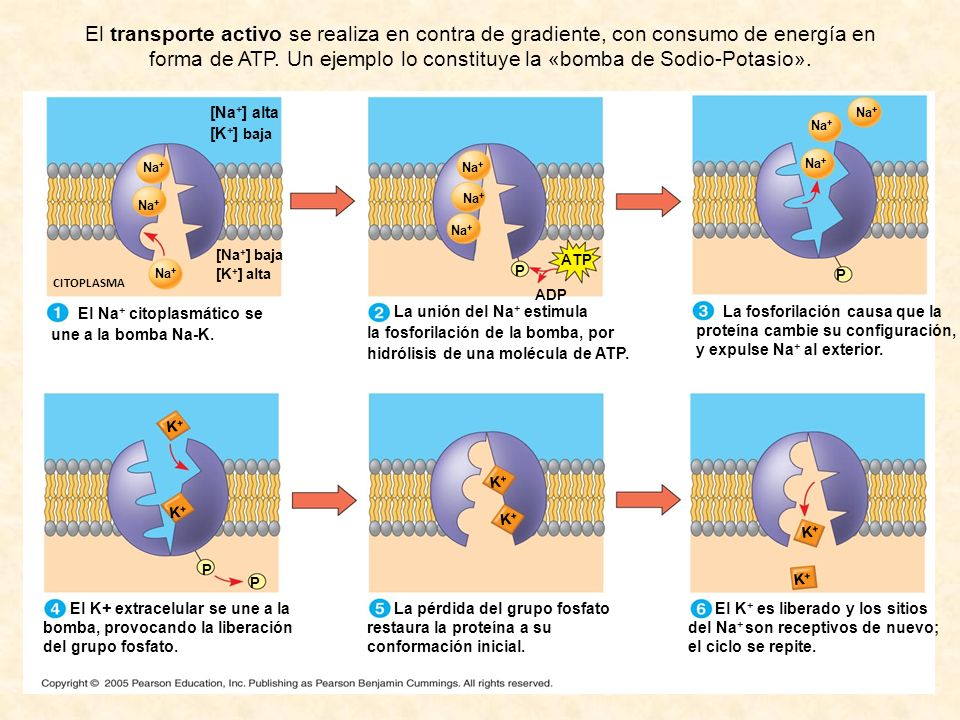 El transporte activo se realiza en contra de gradiente, con consumo de energía en forma de ATP. Un ejemplo lo constituye la «bomba de Sodio-Potasio».