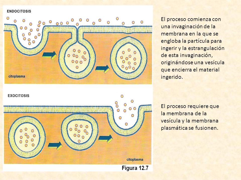 El proceso comienza con una invaginación de la membrana en la que se engloba la partícula para ingerir y la estrangulación de esta invaginación, originándose una vesícula que encierra el material ingerido.