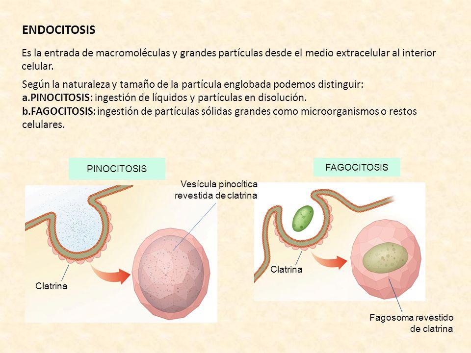 ENDOCITOSIS Es la entrada de macromoléculas y grandes partículas desde el medio extracelular al interior celular.