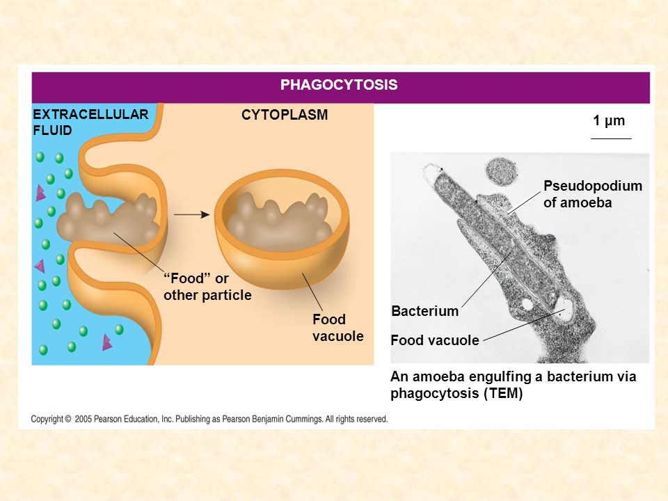 PHAGOCYTOSIS CYTOPLASM 1 µm Pseudopodium of amoeba Food or