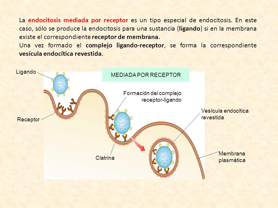 La endocitosis mediada por receptor es un tipo especial de endocitosis
