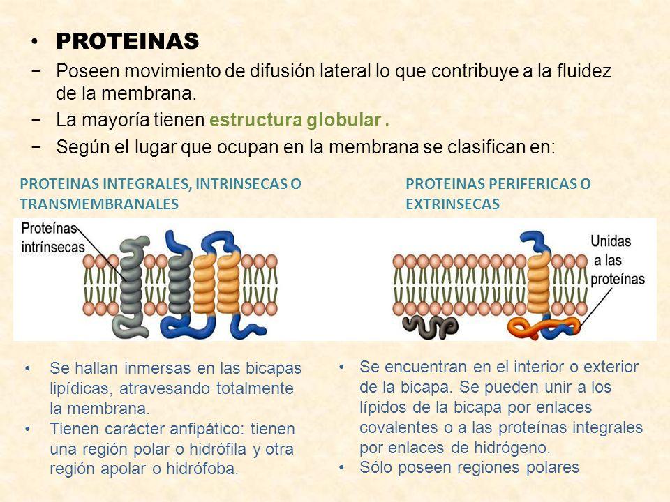 PROTEINAS Poseen movimiento de difusión lateral lo que contribuye a la fluidez de la membrana. La mayoría tienen estructura globular .
