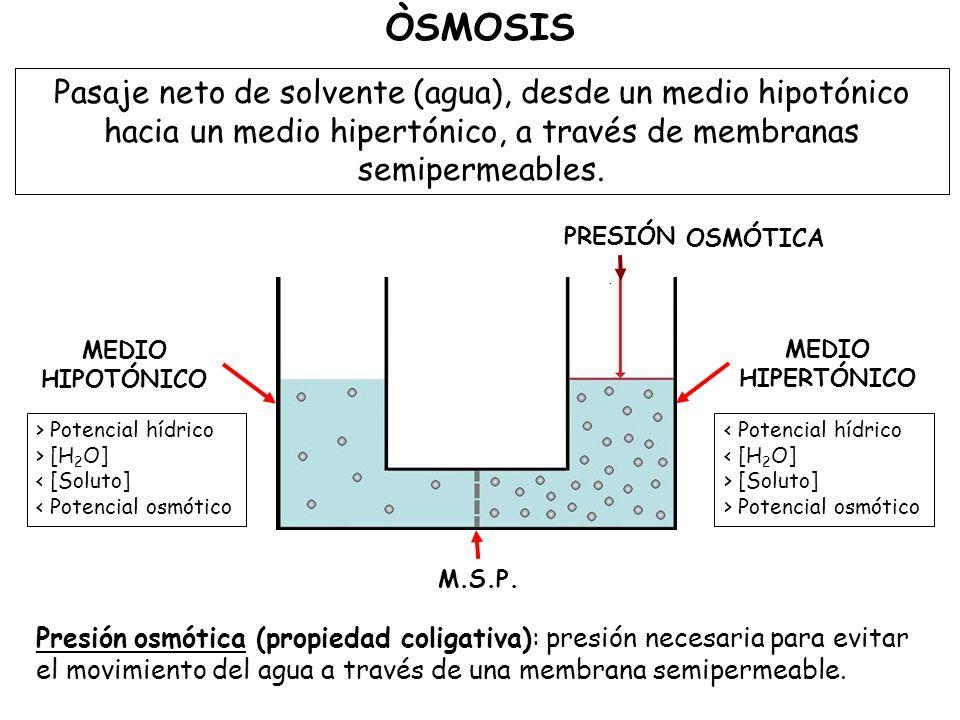 ÒSMOSIS Pasaje neto de solvente (agua), desde un medio hipotónico hacia un medio hipertónico, a través de membranas semipermeables.