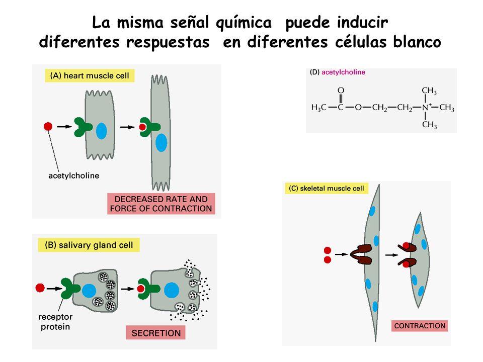 La misma señal química puede inducir