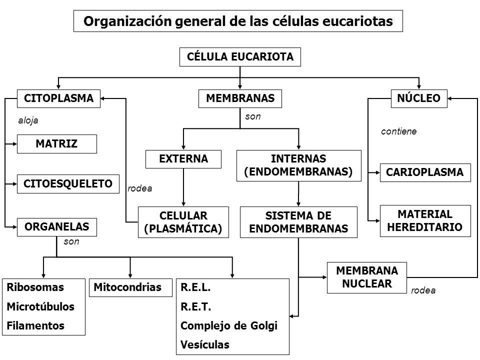 Organización general de las células eucariotas