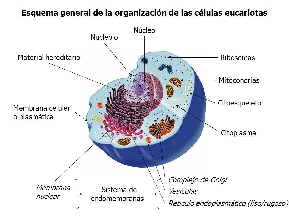 Esquema general de la organización de las células eucariotas