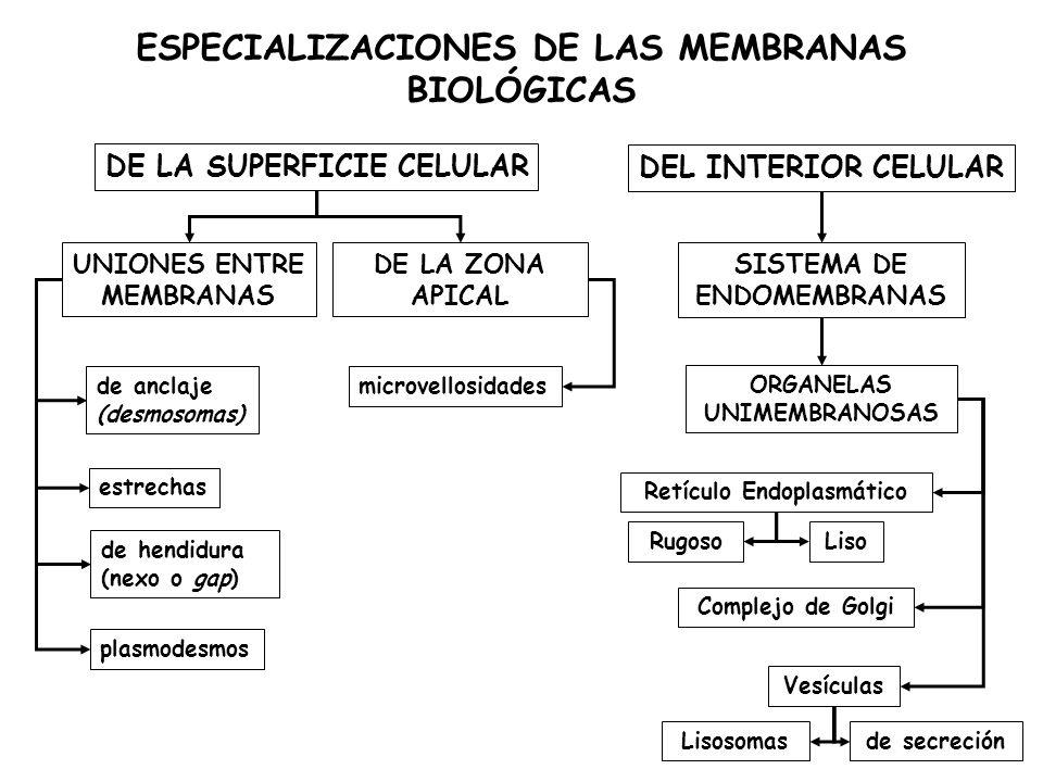 ESPECIALIZACIONES DE LAS MEMBRANAS BIOLÓGICAS