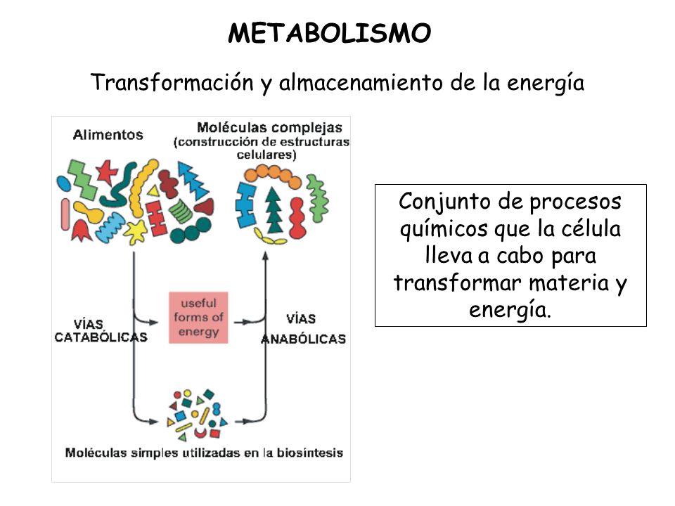 METABOLISMO Transformación y almacenamiento de la energía