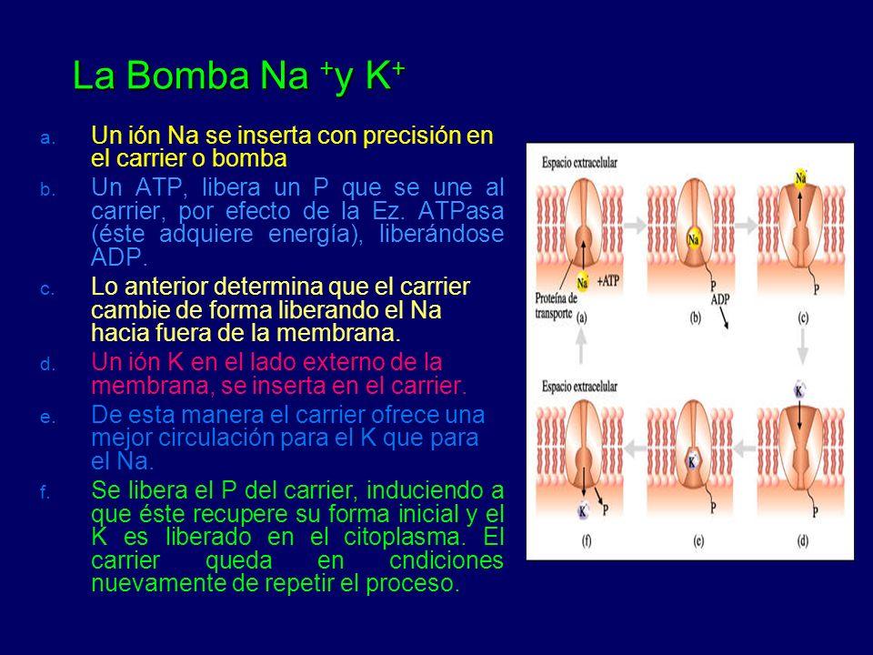 La Bomba Na +y K+ Un ión Na se inserta con precisión en el carrier o bomba.