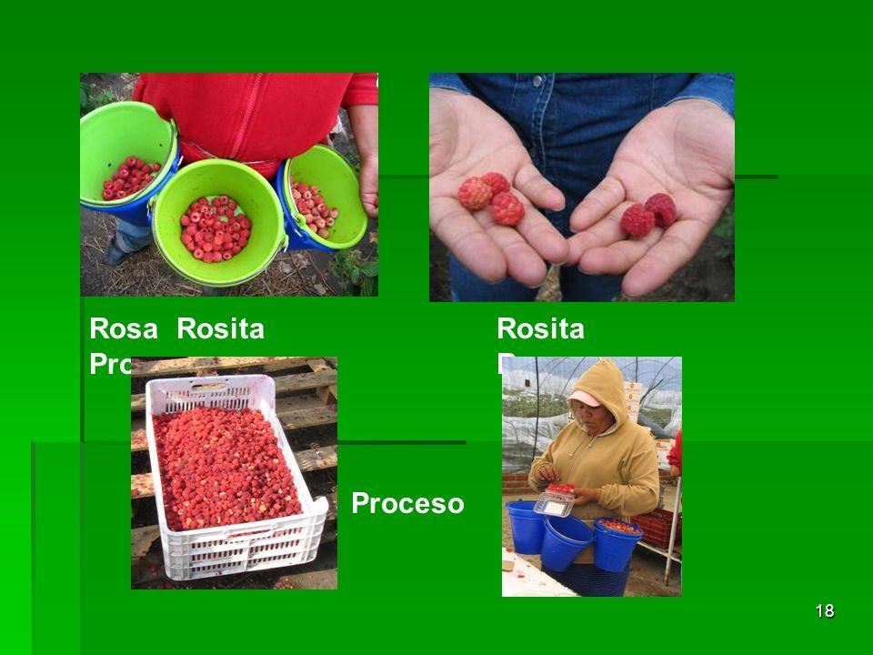 Rosa Rosita Proceso Rosita Rosa Proceso