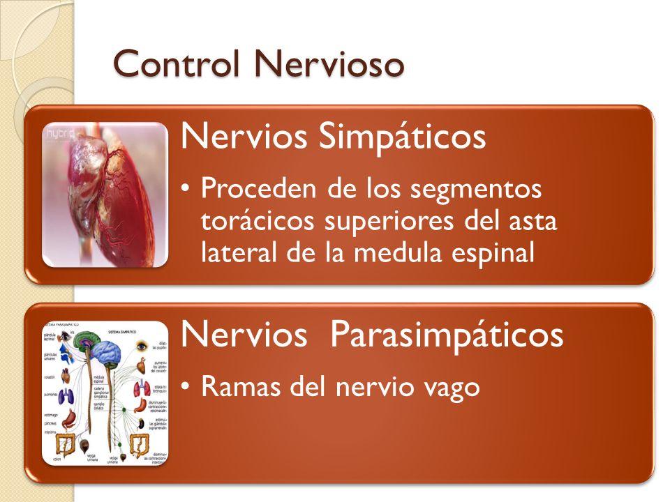 Control Nervioso Nervios Simpáticos Nervios Parasimpáticos