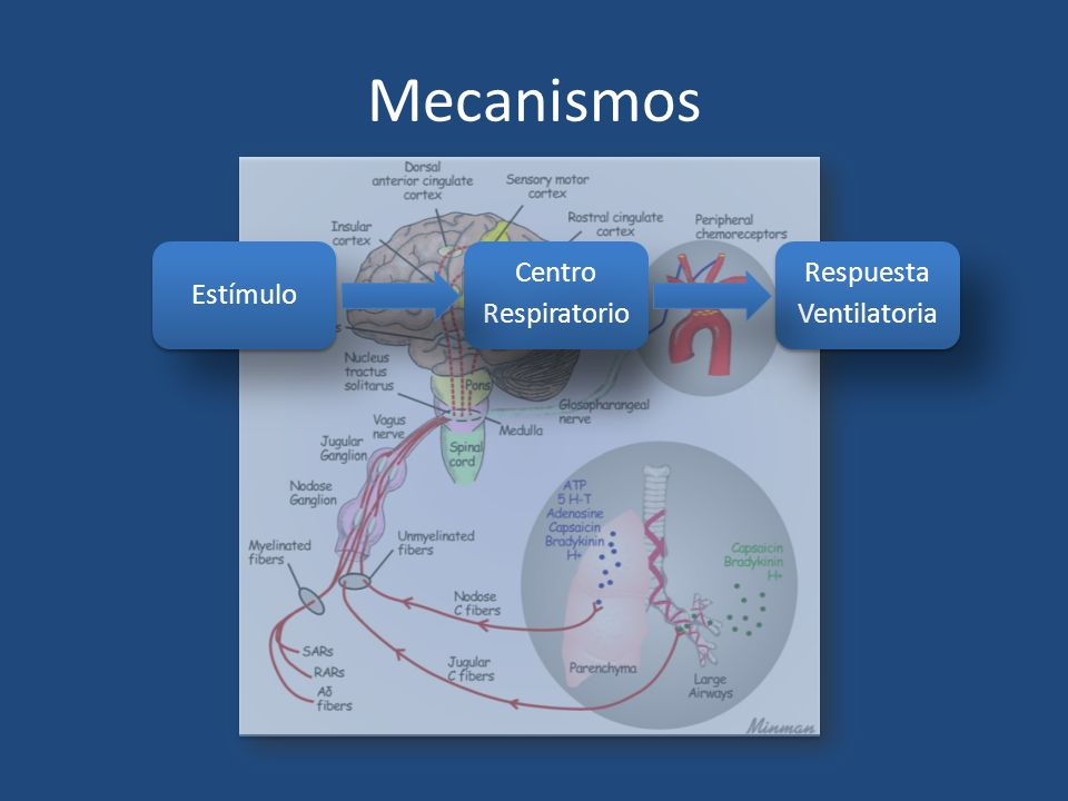 Mecanismos Estímulo Centro Respiratorio Respuesta Ventilatoria