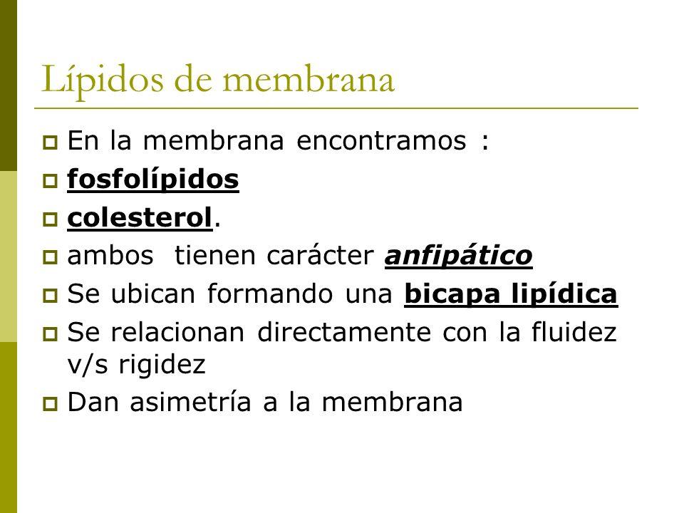Lípidos de membrana En la membrana encontramos : fosfolípidos