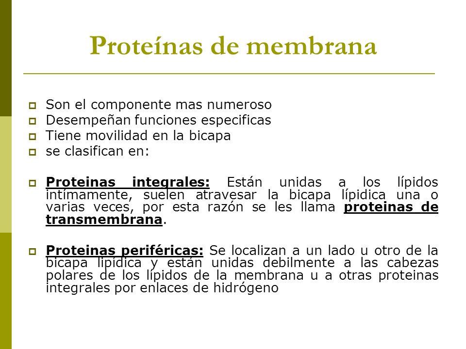 Proteínas de membrana Son el componente mas numeroso