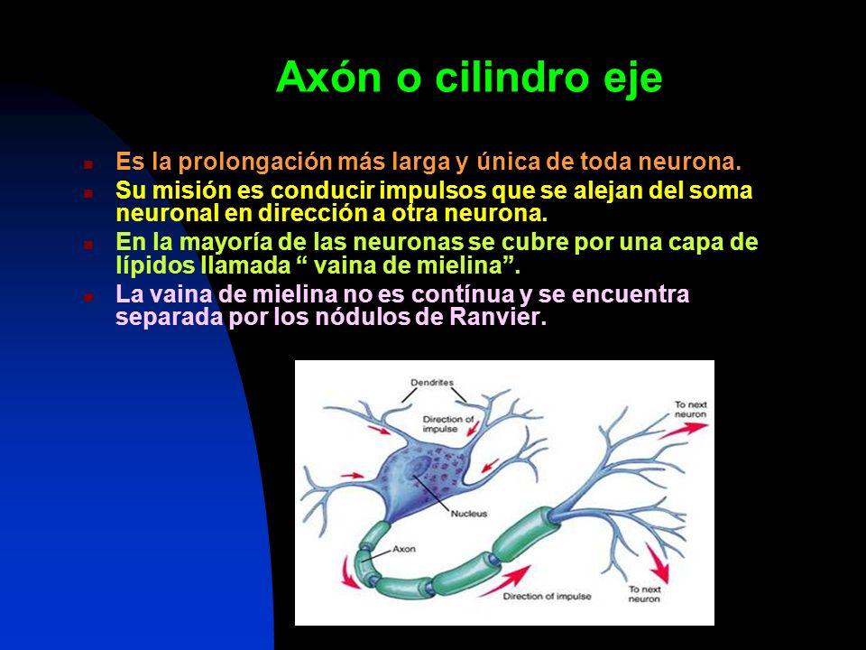 Axón o cilindro eje Es la prolongación más larga y única de toda neurona.